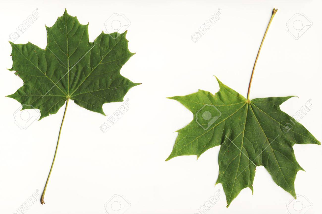 big file of two fallen green leaves starting to change color stock