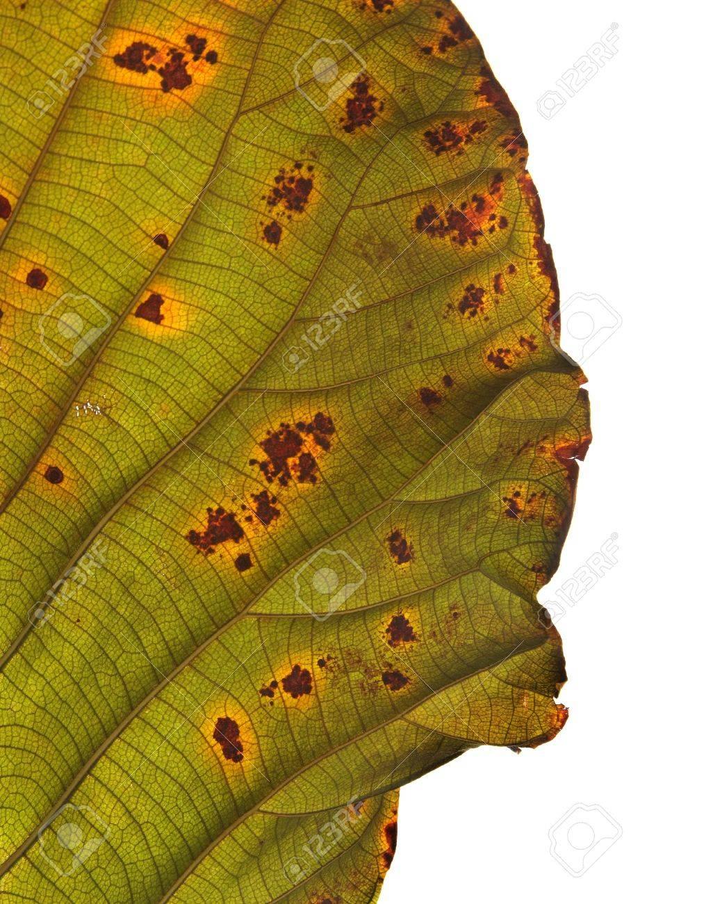 Decomposition of Teak Leaf, close up, isolated on white background Stock Photo - 15440524
