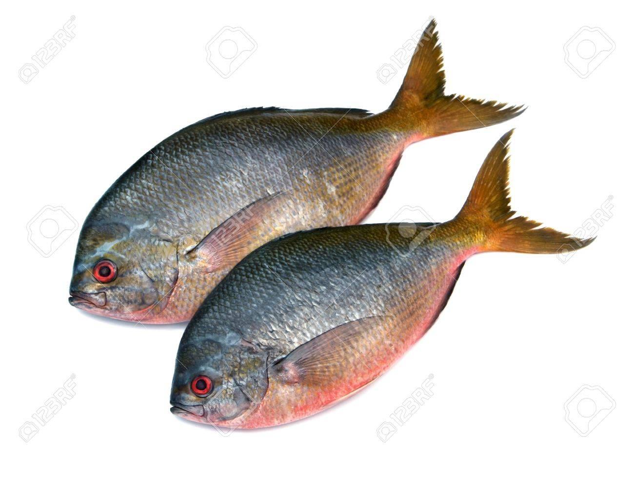 Yellowtail fusilier fish isolated on white background Stock Photo - 15449782
