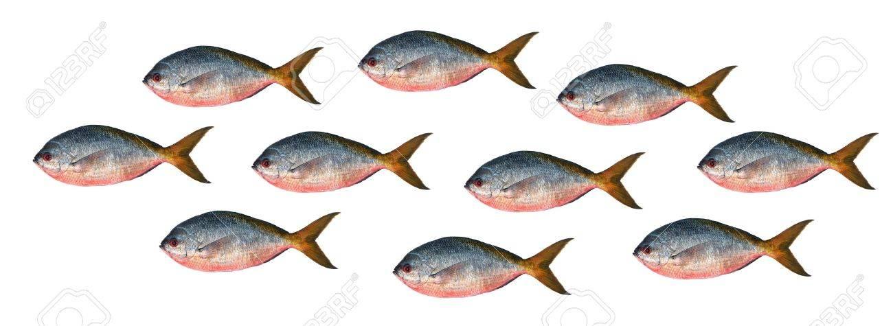 Yellowtail fusilier fish isolated on white background Stock Photo - 15469121
