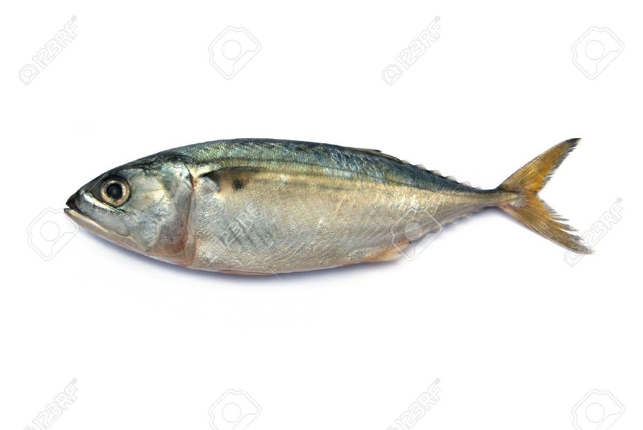 Fresh mackerel fish isolated on the white background Stock Photo - 16388795
