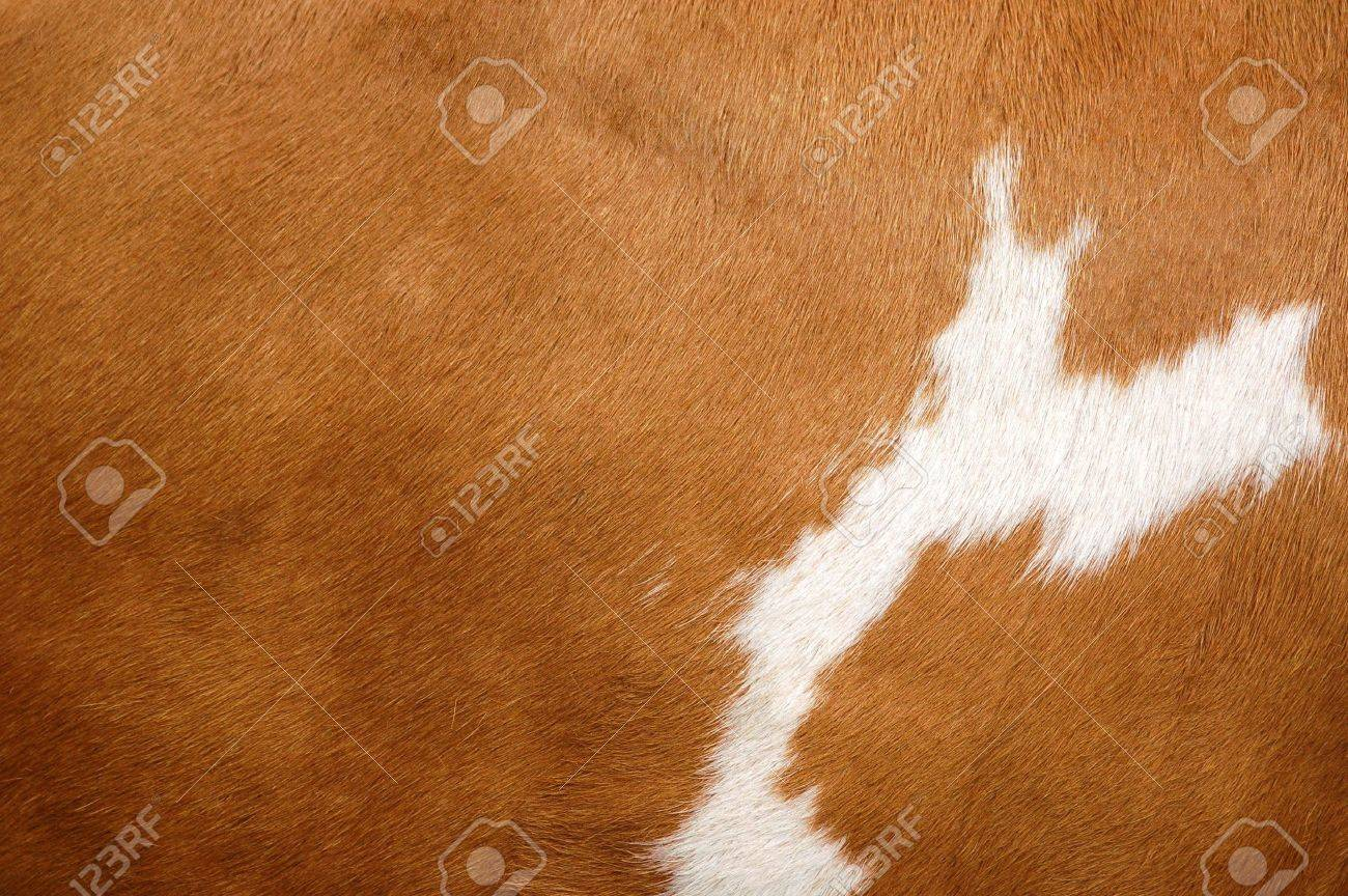 Close up of a brown Cow Coat Stock Photo - 5683536