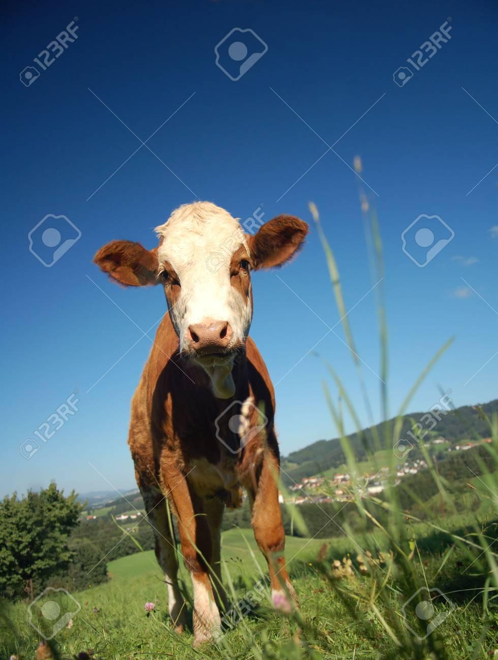 Curious brown Calf in an Austrian Landscape Stock Photo - 5753823