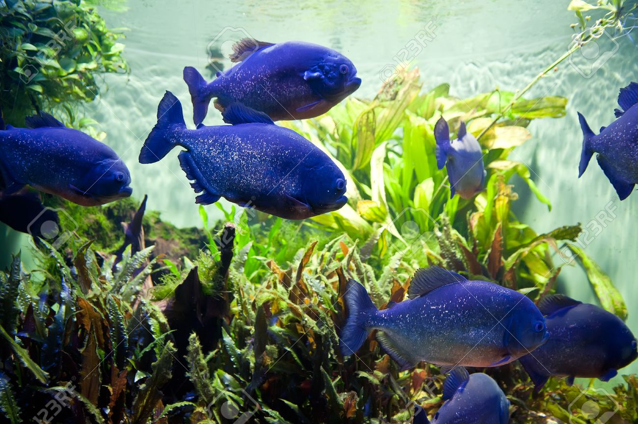 Freshwater aquarium fish piranha - Piraya Piranha In A Aquarium Stock Photo 17329859