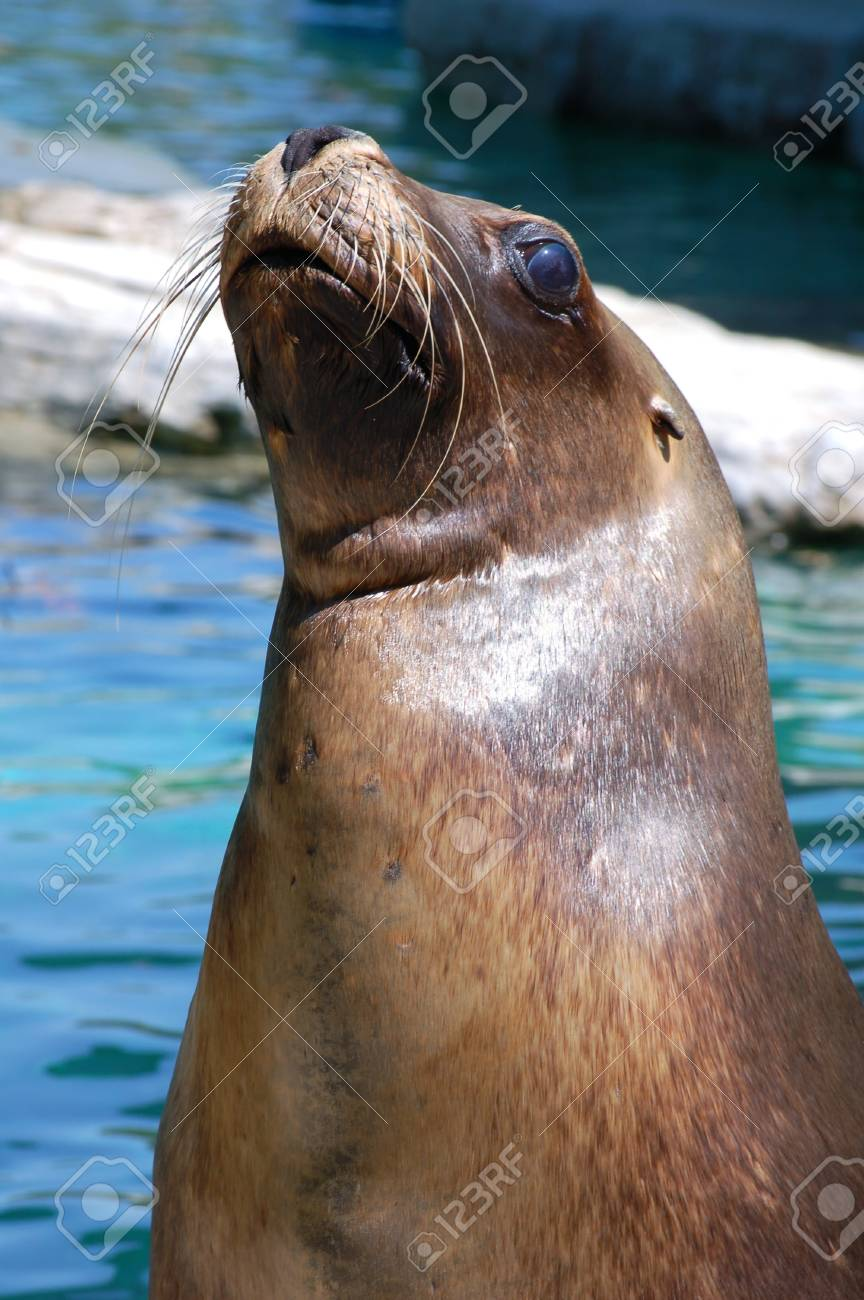 Curious Harbour Seal Stock Photo - 17329348