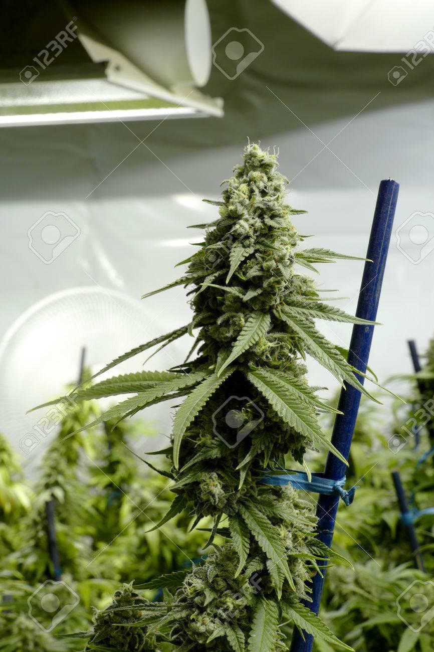 Top Bud Sur Marijuana Plant Sous Les Lumières à L\'intérieur Cannabis ...