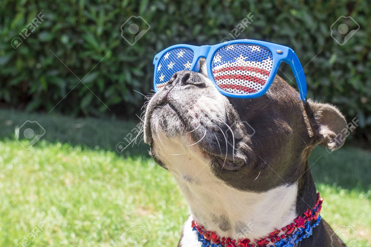 Boston Terrier Dog Looking Cute in Stars and Stripes Flag Sunglasses Stock Photo - 53587655