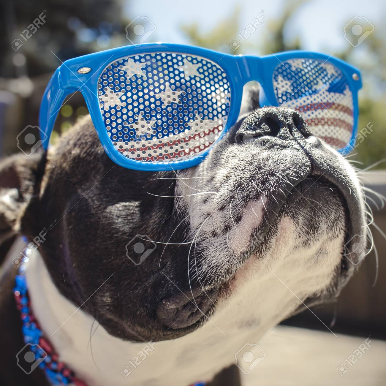 Cute Boston Terrier Puppy In Usa Red White And Blue Glasses Stock