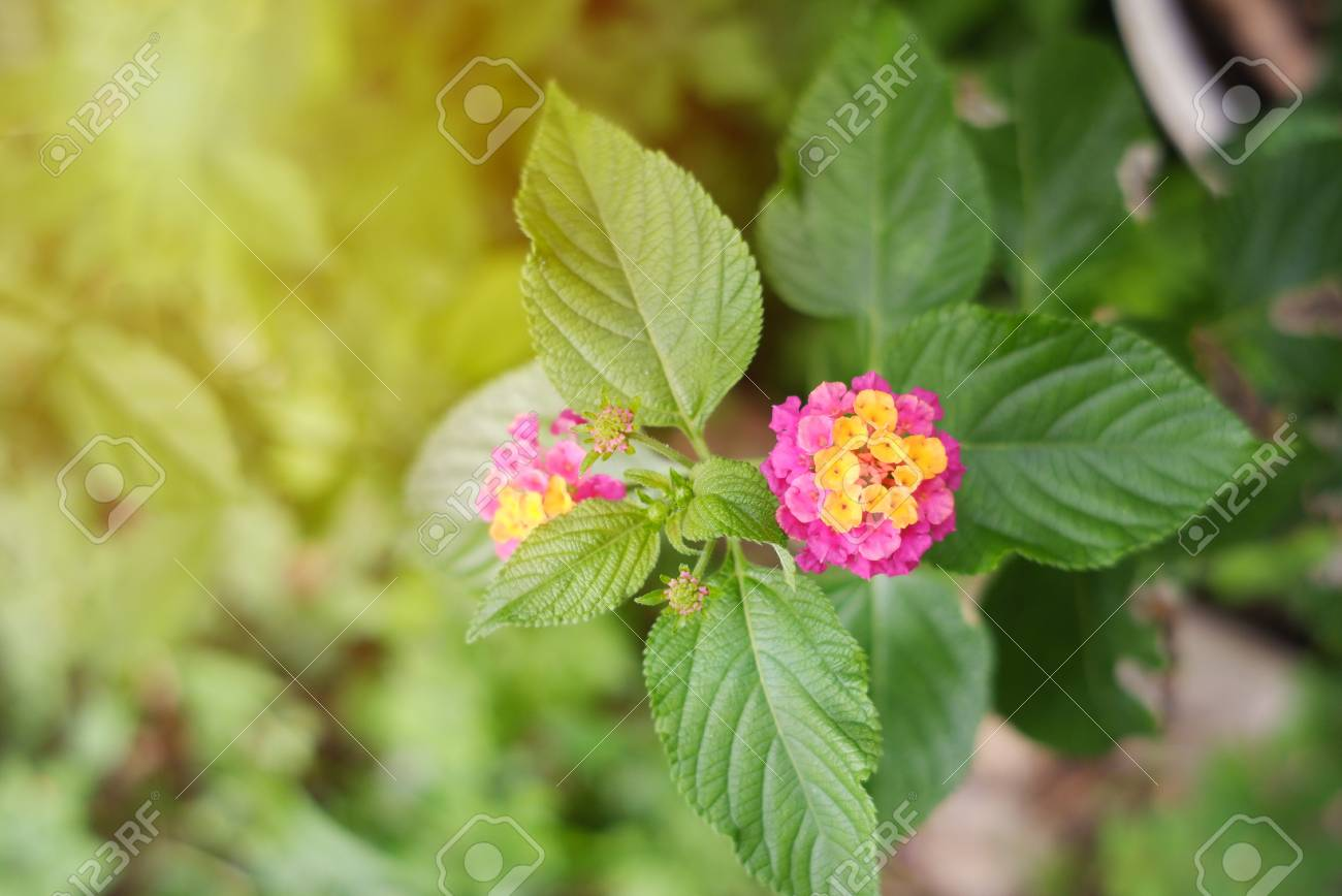 Yellow And Pink Flower Named Lantana Camara Also Known As Lantana