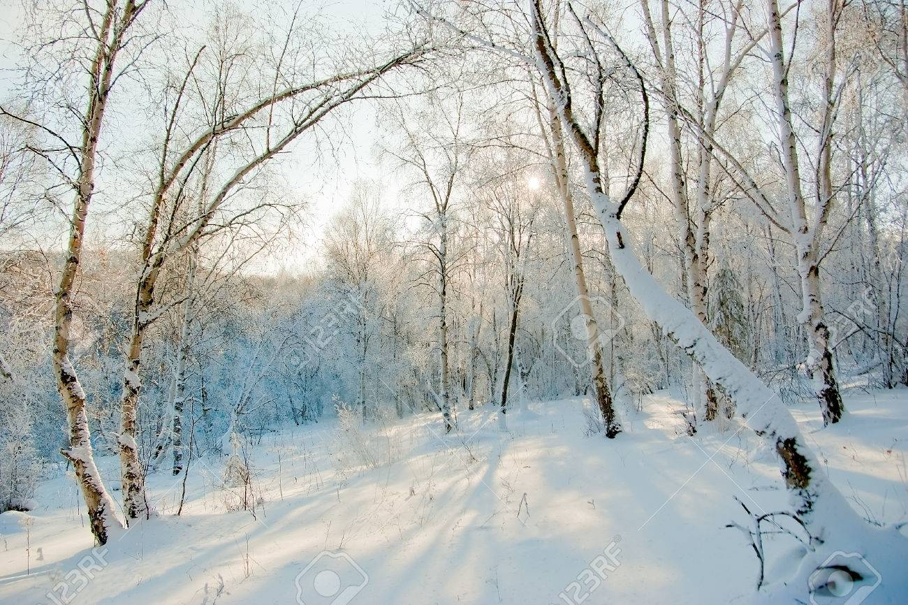 snow covered aspen trees winter forest with deep snowdrifts stock snow covered aspen trees winter forest with deep snowdrifts stock photo 26789048