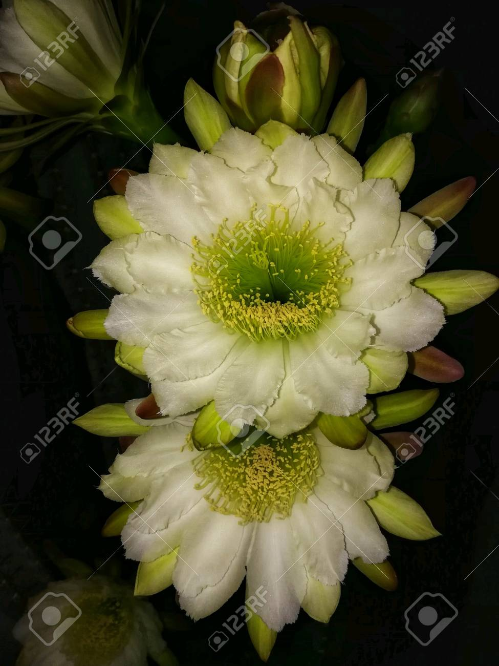 White Night Blooming Cactus Flowers Fully Open Stock Photo Picture