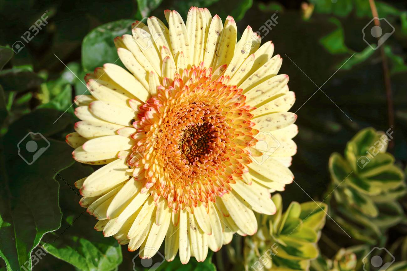 Yellow aster flower with red brown center stock photo picture and stock photo yellow aster flower with red brown center mightylinksfo