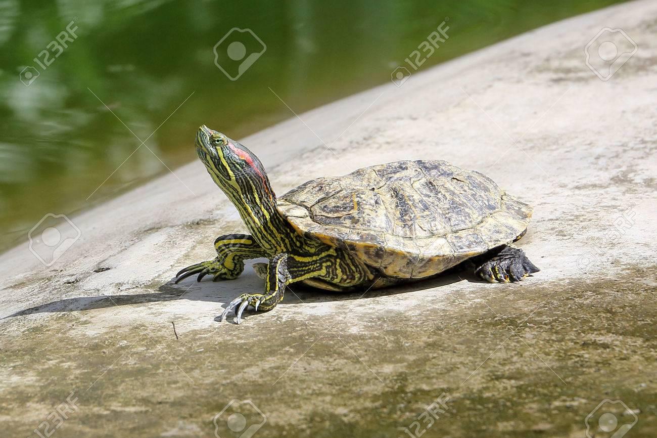 Bassin D Eau Exterieur red eared slider tortue dans le bassin d'eau extérieur jour