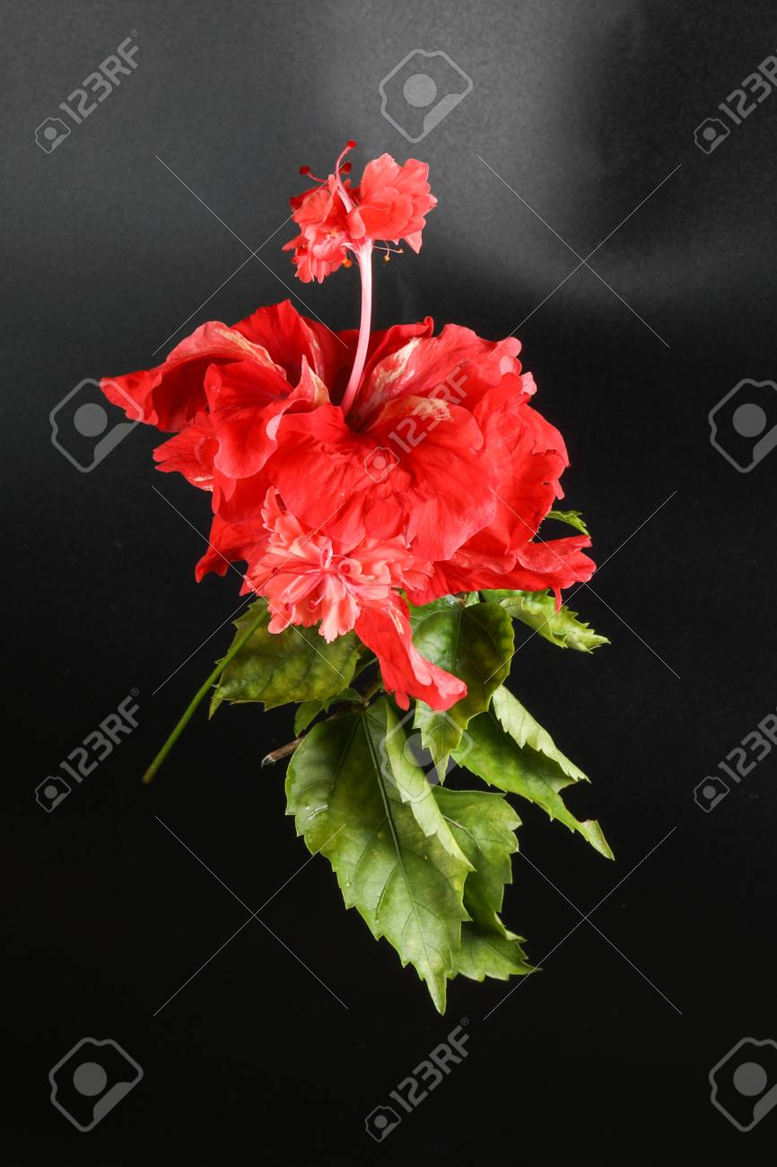 Red hibiscus flower bloom on black background stock photo picture red hibiscus flower bloom on black background stock photo 74258236 izmirmasajfo