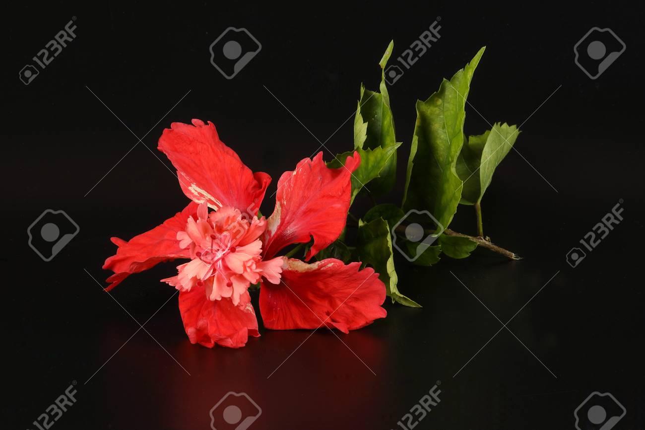 Red hibiscus flower bloom on black background stock photo picture red hibiscus flower bloom on black background stock photo 72957816 izmirmasajfo