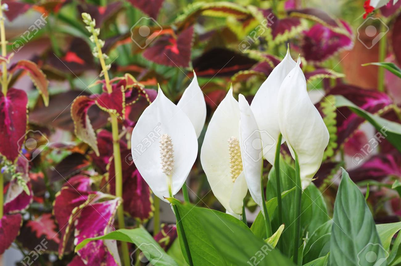 Close Up Of Peace Lily Flowers Stock Photo Picture And Royalty