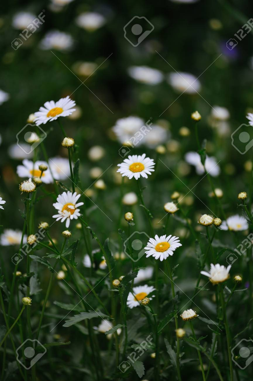 Daisies In The Flower Bed Close Up Stock Photo Picture And Royalty