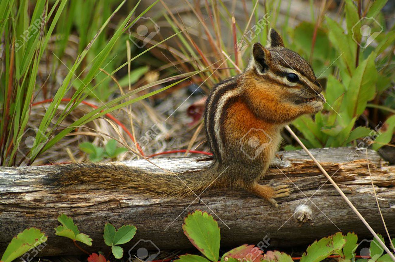 Chipmunk sitting on a decaying log Stock Photo - 2134399