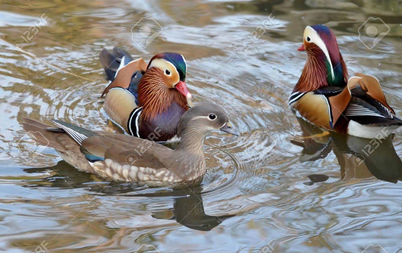 Male And Female Mandarin Duck Swimming Together Stock Photo