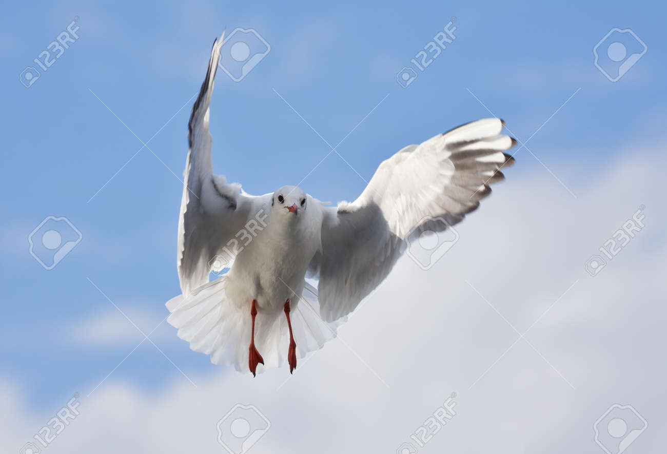 Seagull flying with open wings - 164532676