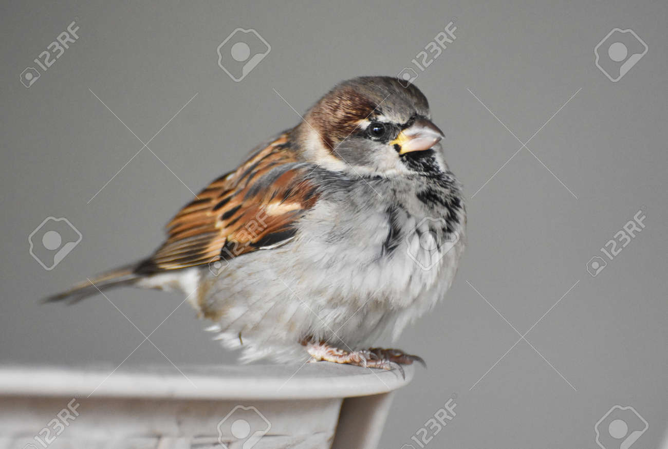Sparrow standing on a chair - 164532796