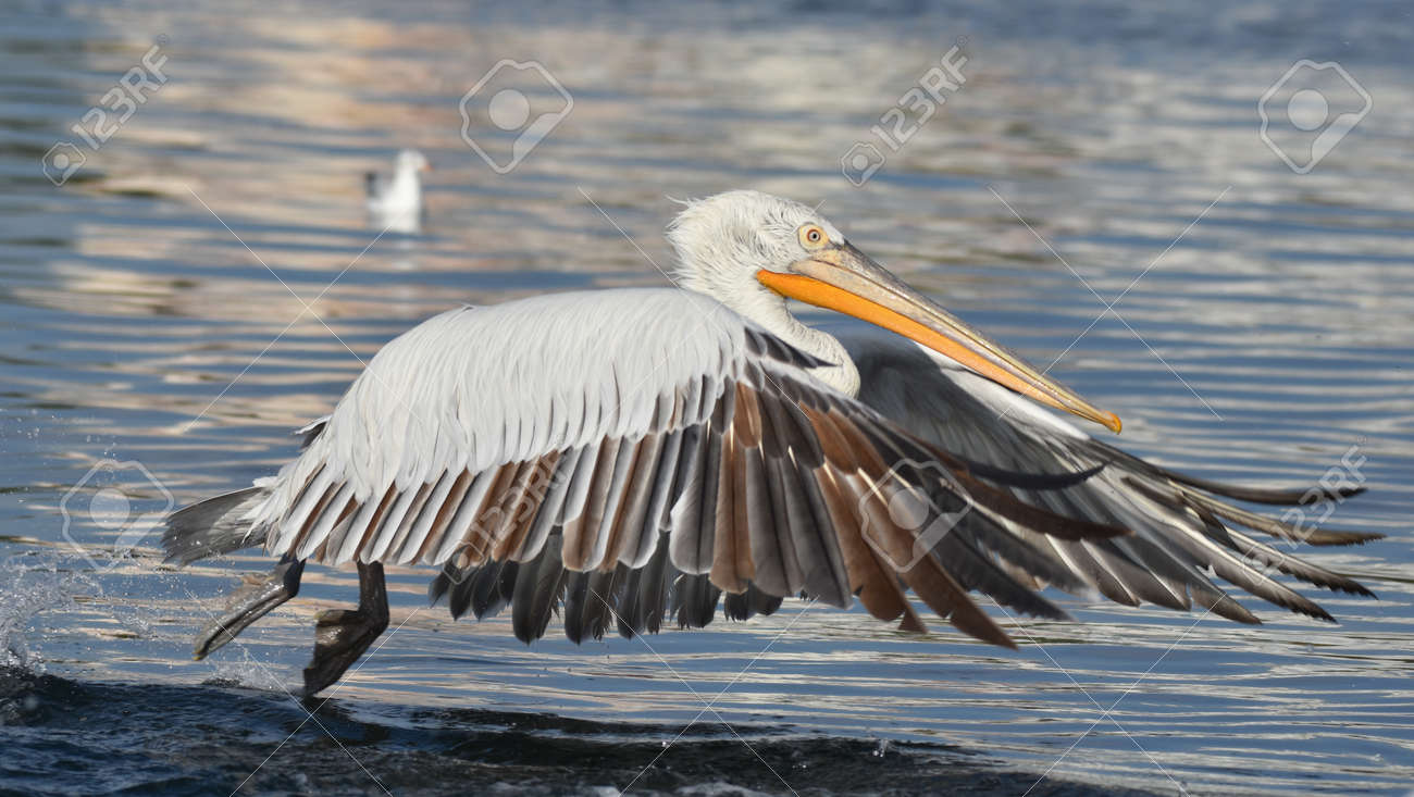 Pelican flying on the sea - 164861200
