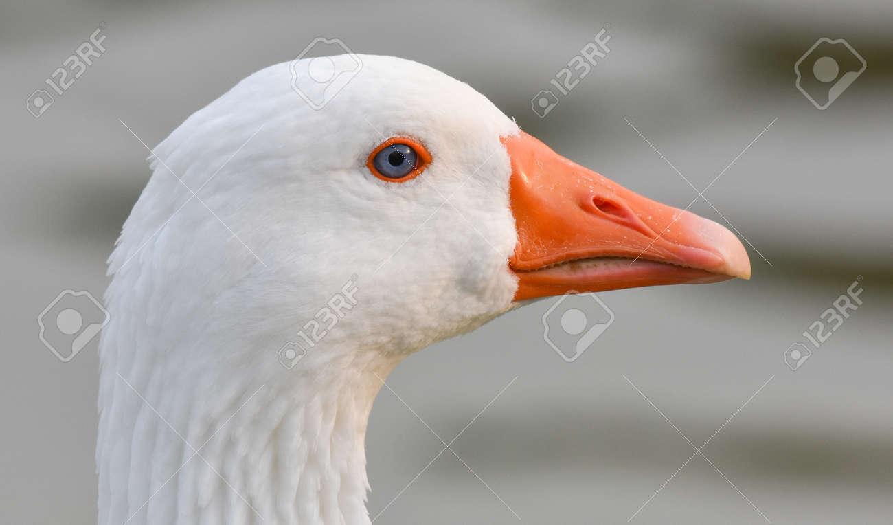 White goose head with orange beak - 164860926