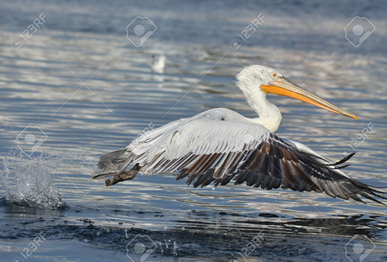 Pelican flying on the sea - 164860519