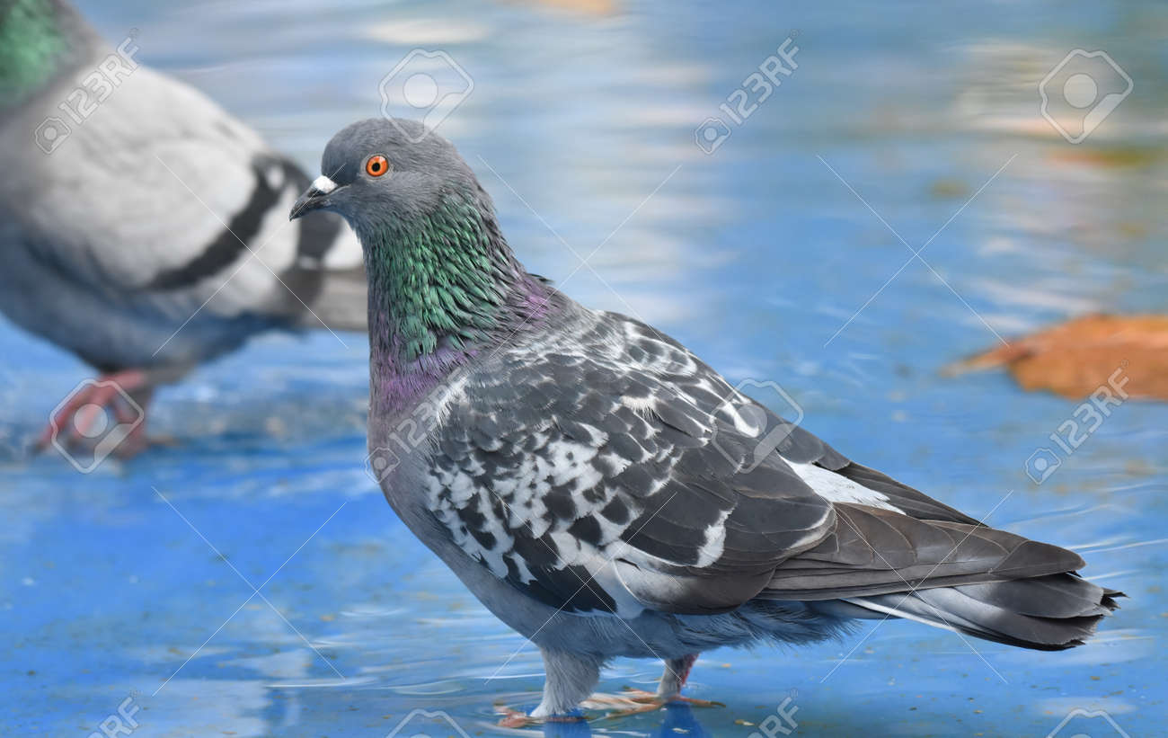 Pigeon standing in a blue pond - 164861654