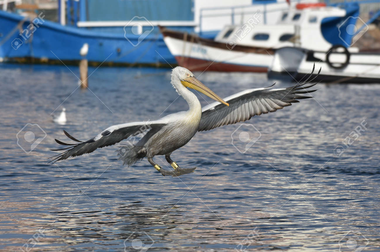 Pelican flying on the sea - 164860575