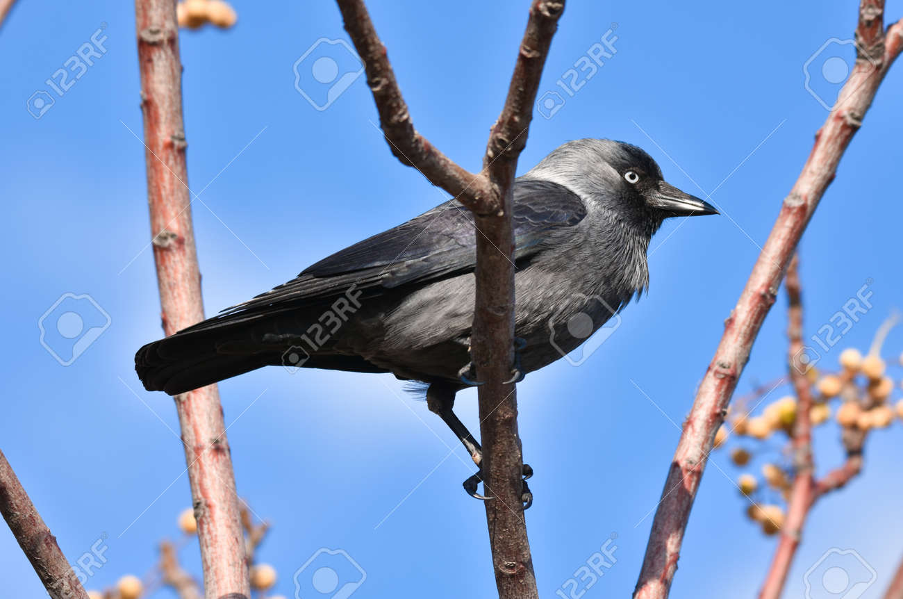 Black crow standing on a branch - 165265344