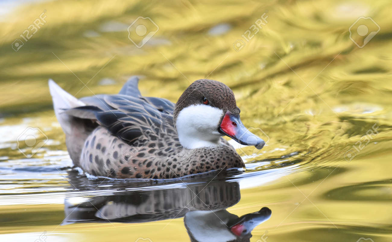 Duck swimming on a lake - 165265050
