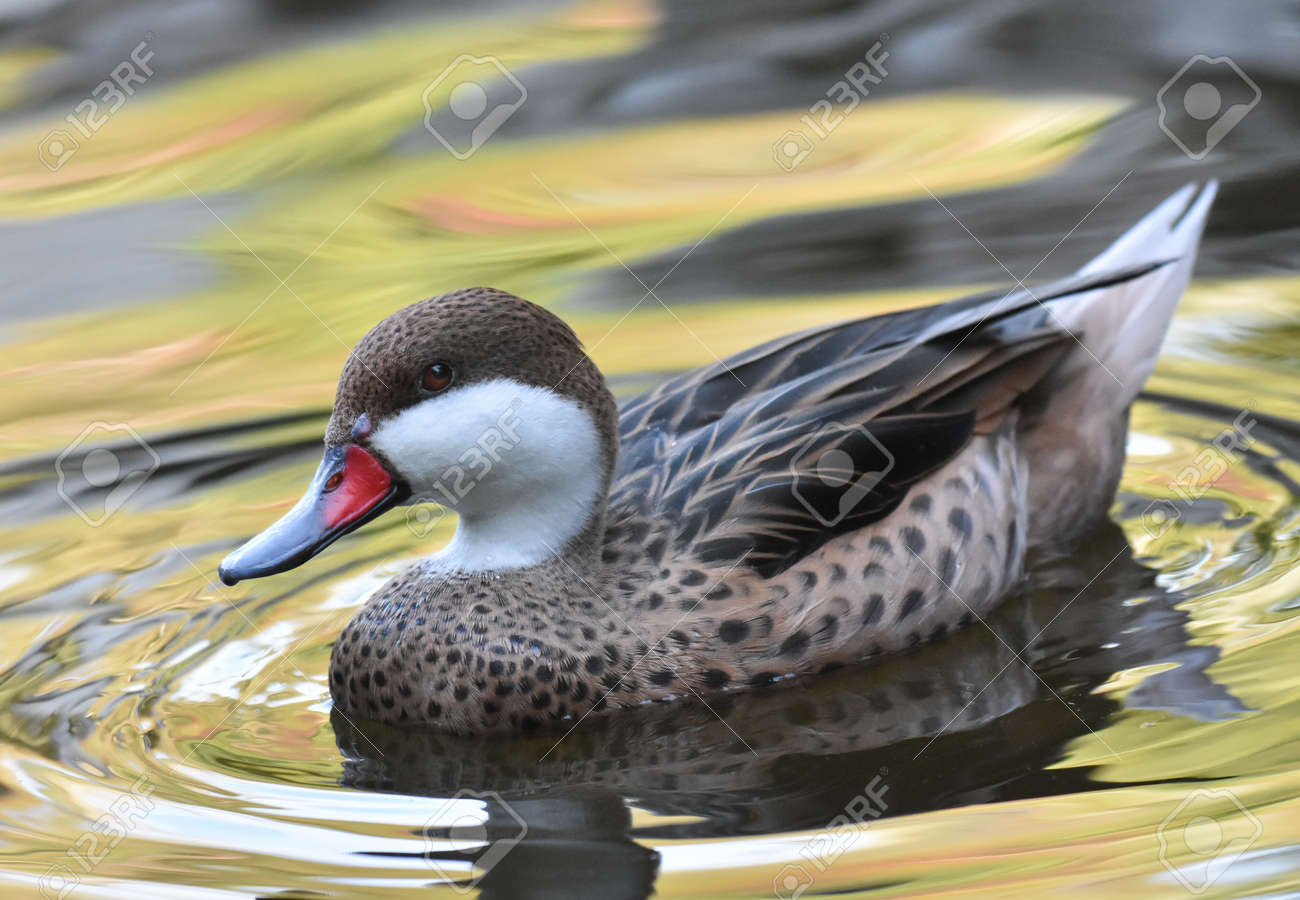 Duck swimming on a lake - 165265231
