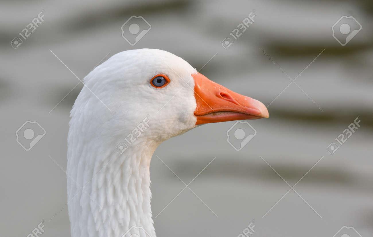 White goose head with orange beak - 165362587