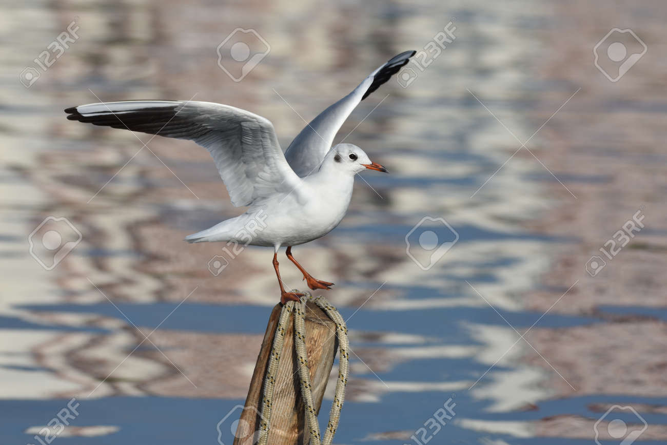 Seagull standing on wood with open wings, closeup - 165362591