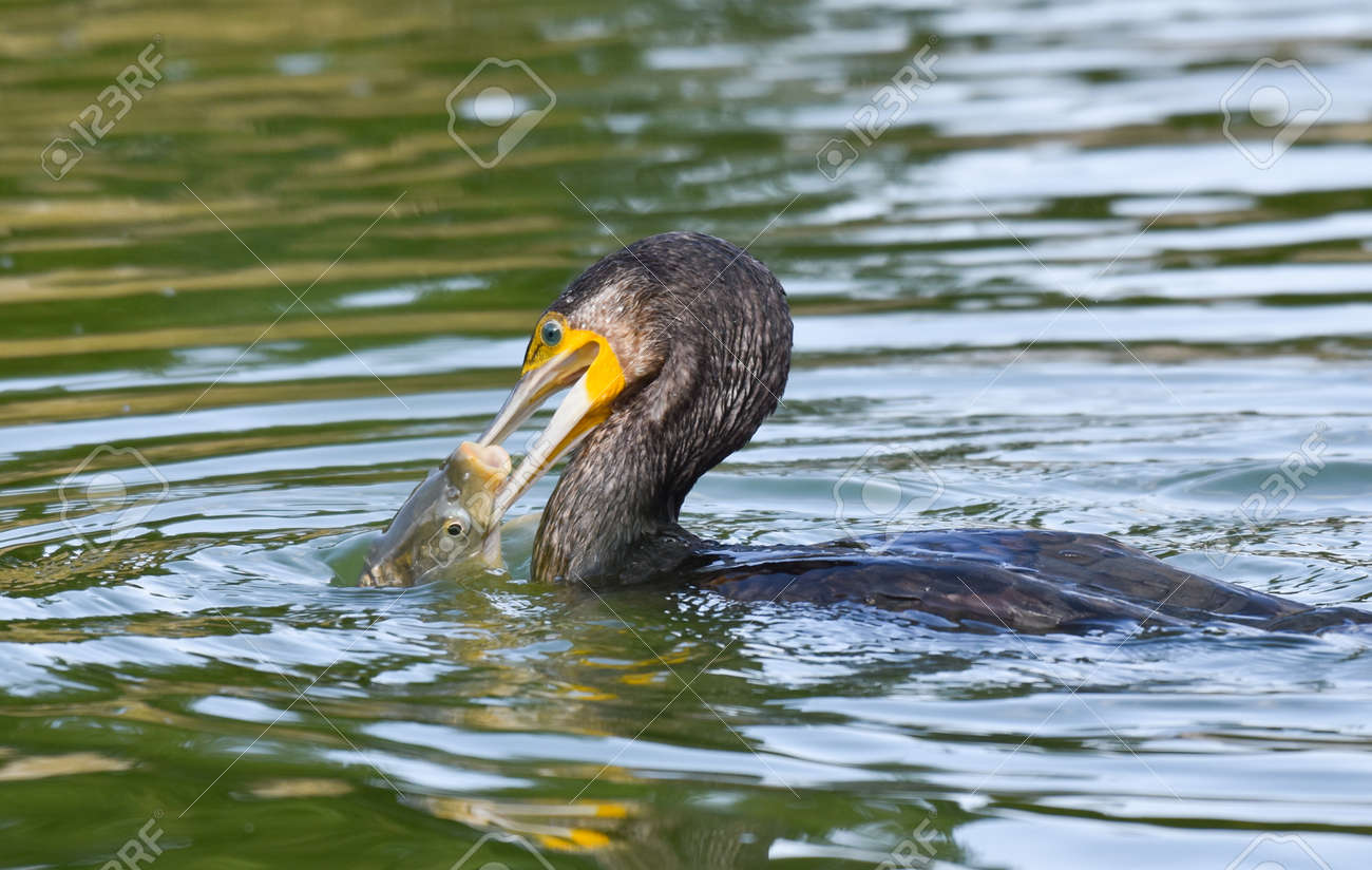 Cormorant hunting and eating fish in a pond - 165362599