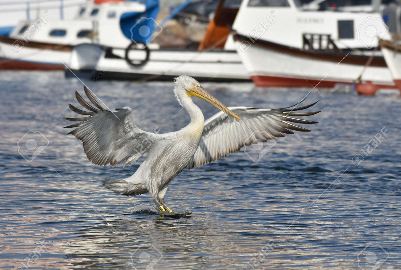 Pelican flying with open wings - 165362601