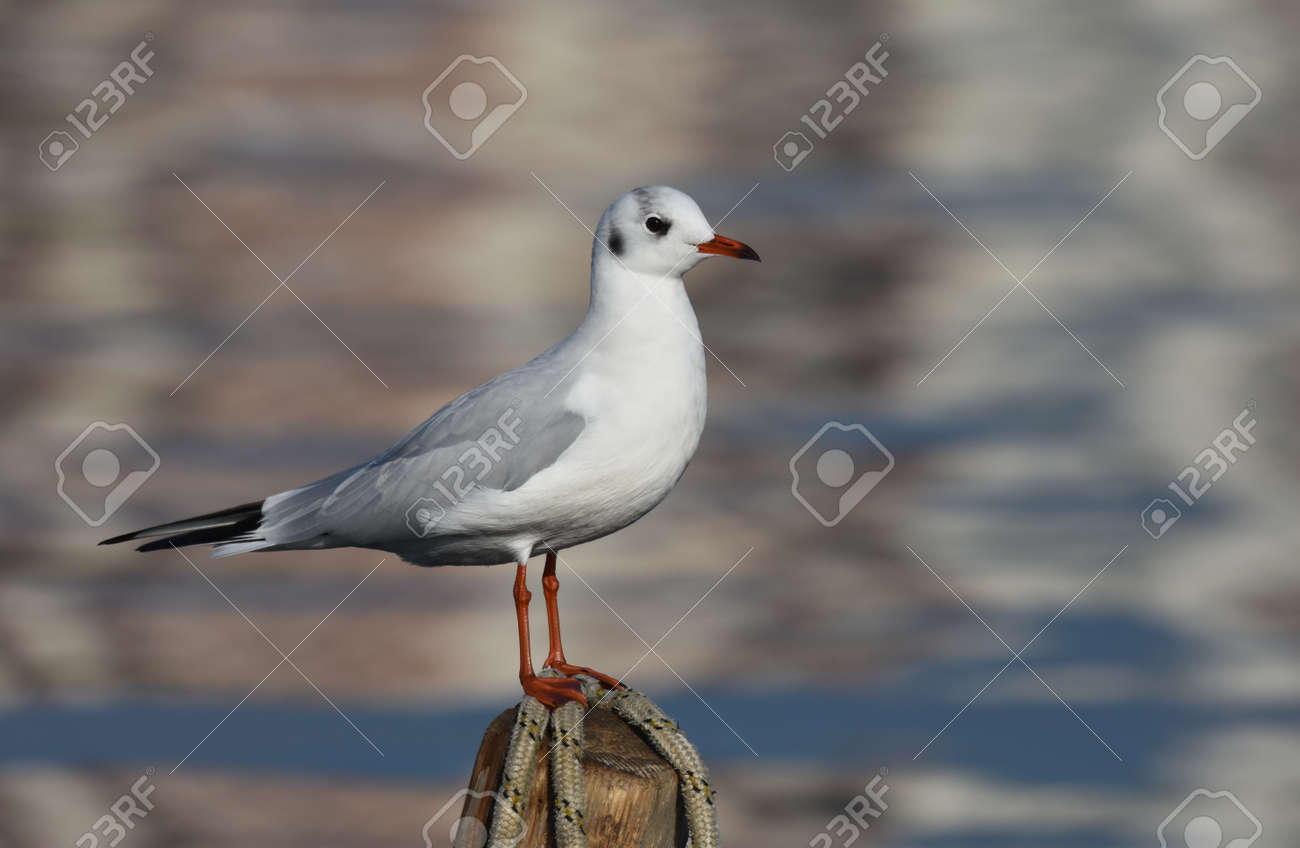 Seagull standing on wood, closeup - 165362607