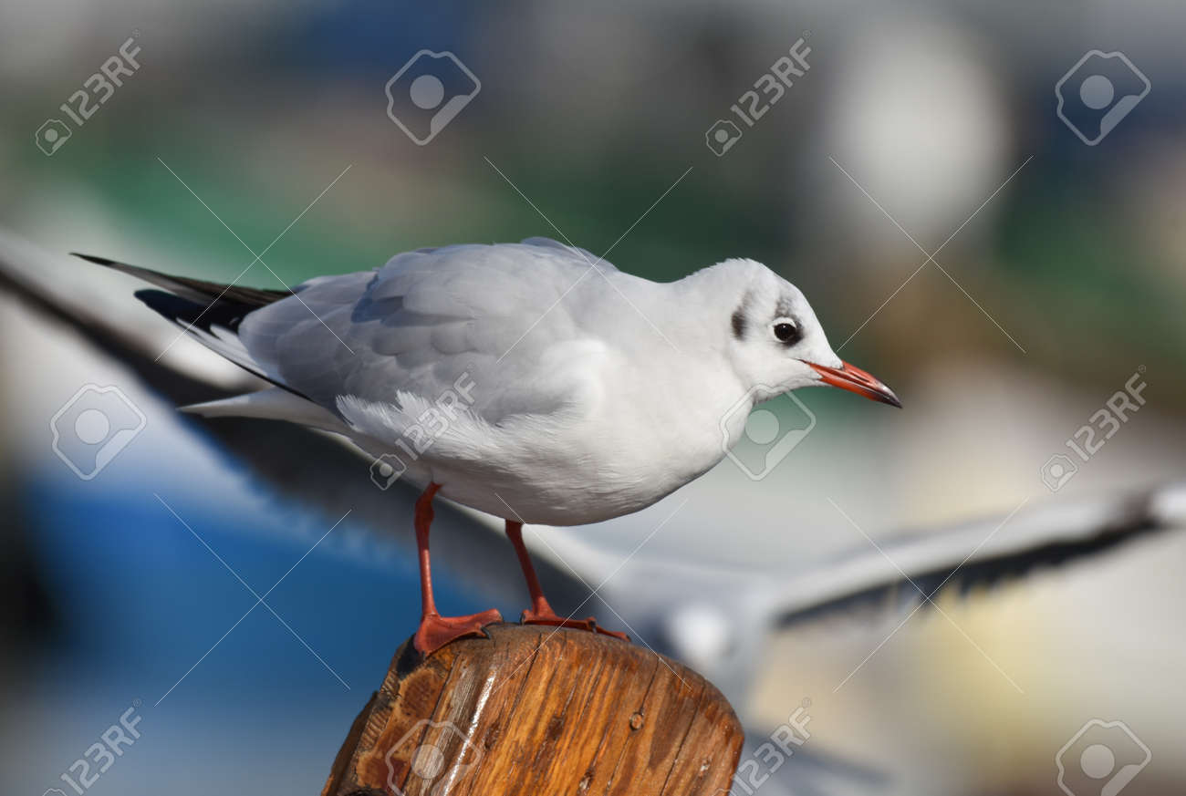 Seagull standing on wood, closeup - 165362617