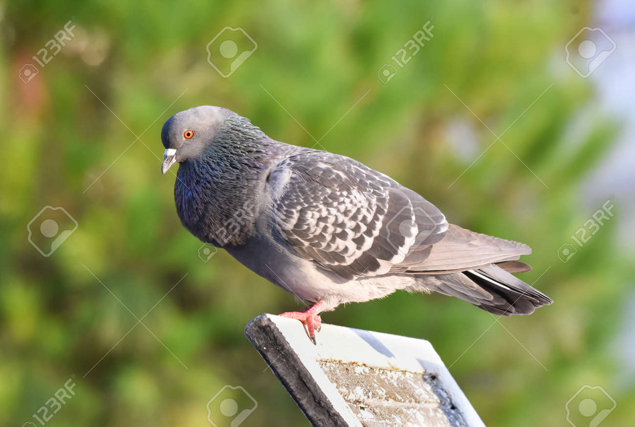 Pigeon standing on a wood - 165362618