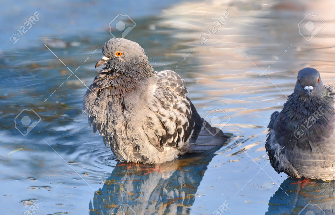 Pigeon standing on a pond - 165362621