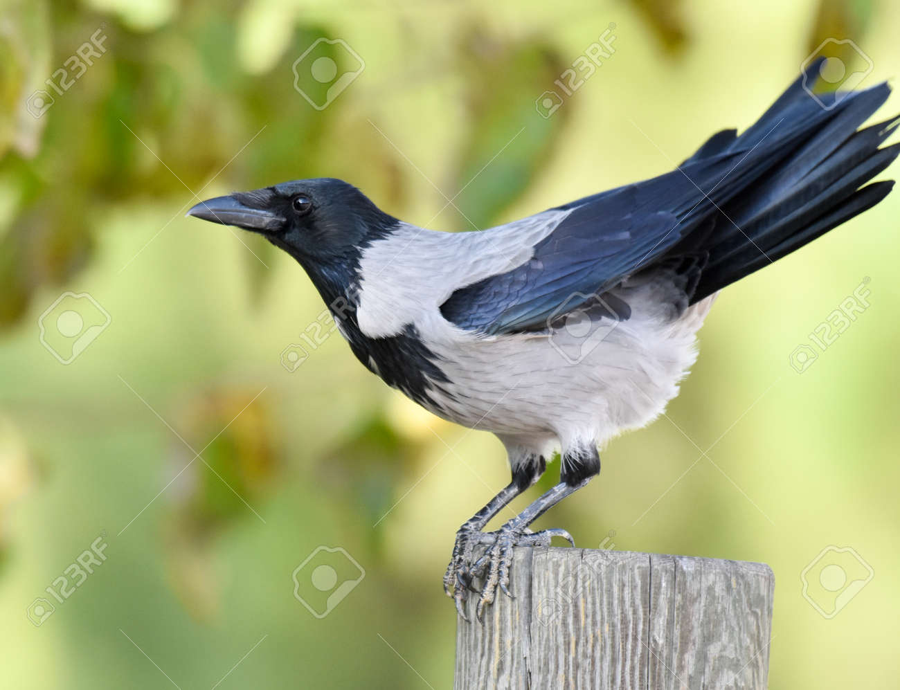 Crow blackbird standing on a wood - 165520063