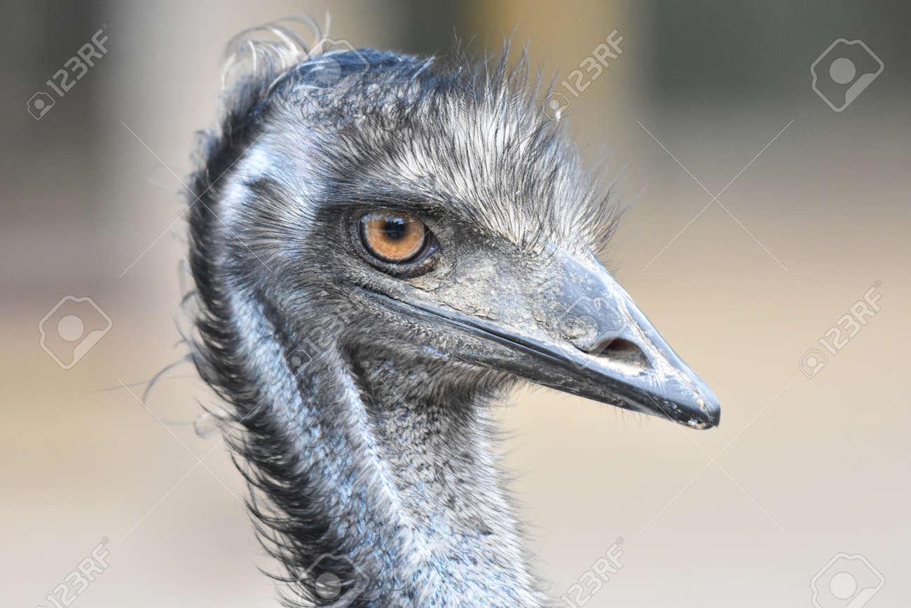 Close up of an ostrich head - 165520067