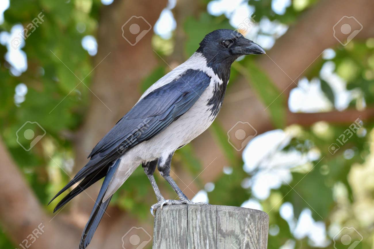 Crow blackbird standing on a wood - 165520068