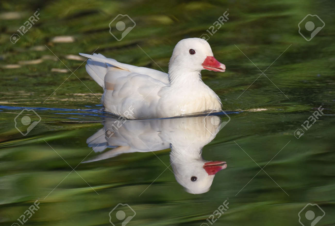 White caroline duck with reflection swimming on a green pond - 165520088