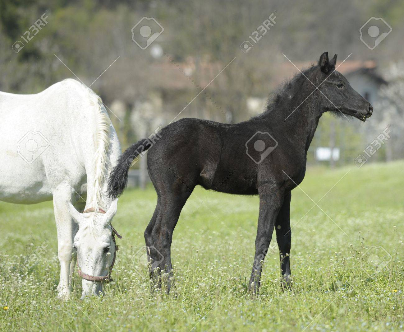 Horses - Mare with her foal newborn eats the grass in the meadow Stock Photo - 16584002
