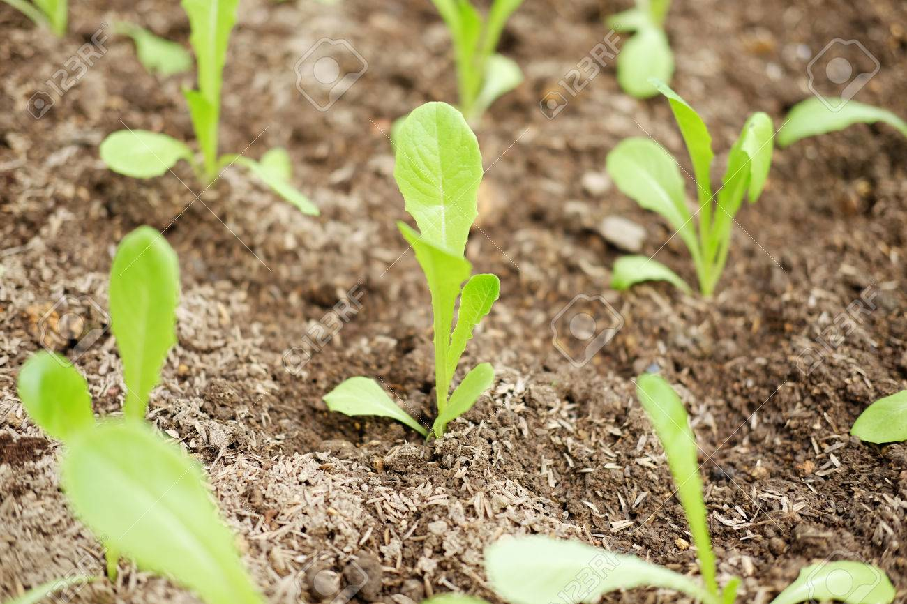 Flower Bed Of Growing And Planting Hydroponics Lettuce Sprout ...