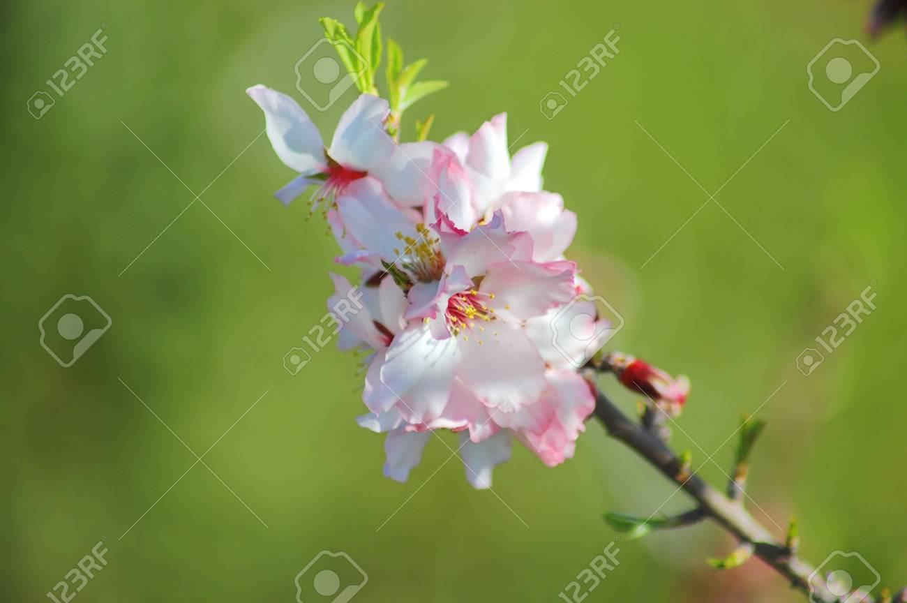 Twig with almond flowers Stock Photo - 17405726