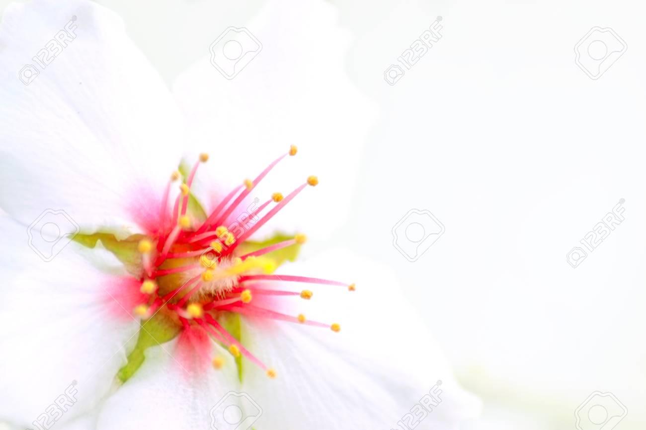 Closeup of an almond blossom Stock Photo - 17405740