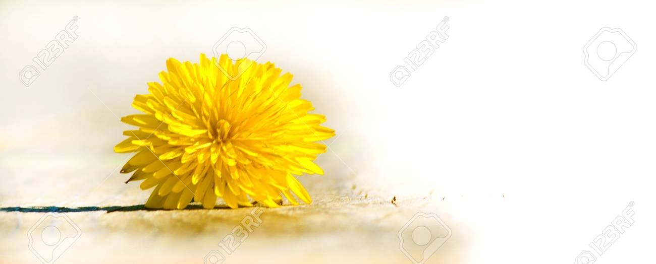 flower of dandelion template stock photo picture and royalty free